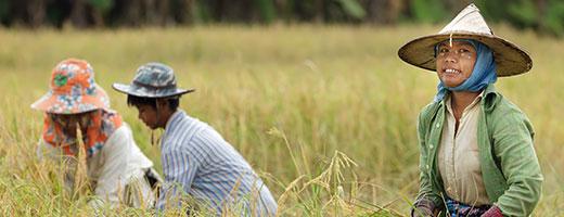 Les agriculteurs la récolte de riz en Thaïlande du nord